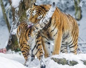 amurskie tigry