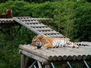 sibirskie tigry