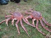 kamchatskyi krab