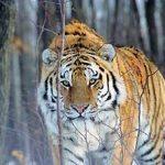 amurskij tigr